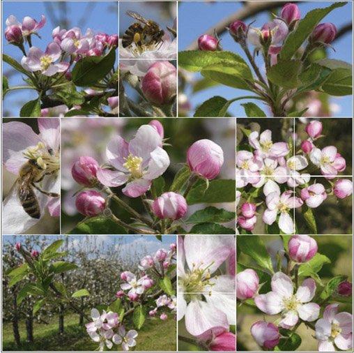 Read more about the article Pommiers en fleur