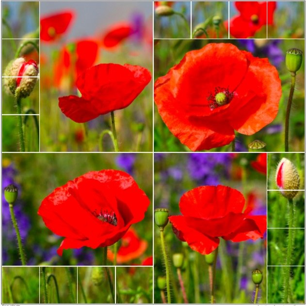 Read more about the article Coquelicots